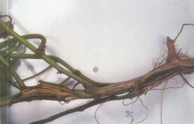 玉米叶片横切面结构图